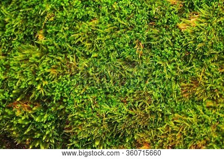 Forest Moss Texture Close-up. Bright Green Color.