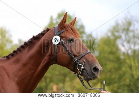 Thoroughbred Young Race Horse Posing At Animal Farm. Portrait Of A Purebred Young  Chestnut Outdoors