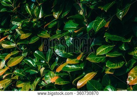 Wild Shrub With Large Green Leaves In Spring
