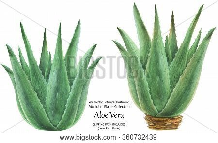 Watercolor Botanical Illustration In Traditional Style Aloe Vera Bushes. Isolated, Clipping Path Inc