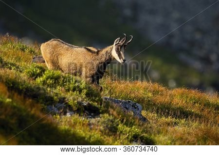 Vital Tatra Chamois Looking Down And Walking On Mountain Meadow In Summer
