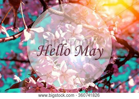 Banner Hello May. Picture With Flowers. Text On A Background Of Flowers. Hi Spring. Cherry Blossoms.