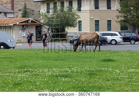 Yellowstone National Park, Usa - July 14 2014:  A Cow Elk Grazing While Tourists Take Pictures At Ma