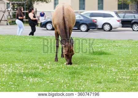Yellowstone National Park, Usa - July 14 2014:  A Cow Elk Grazing In The Grass Next To A Parking Are