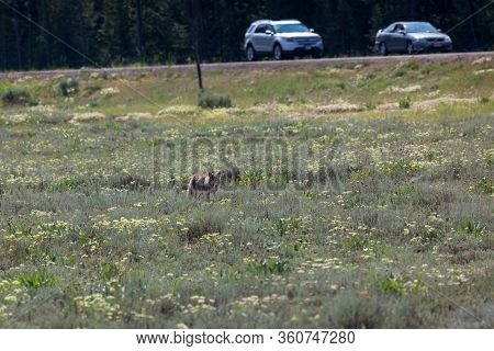 Grand Teton National Park, Wyoming / Usa - July 17, 2014:  A Coyote Waling In A Dry Field With Wildf