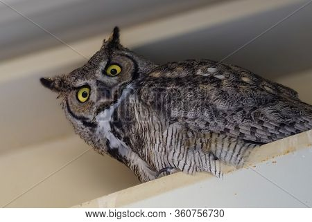 A Female Great Horned Owl Perched In The Rafters Looks Straight At The Camera.