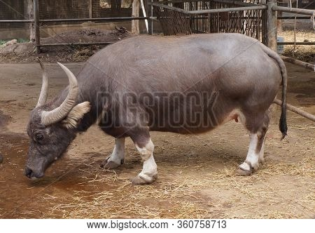 Dwarf Buffalo / Buffalo Born With Abnormoality - Short Legs