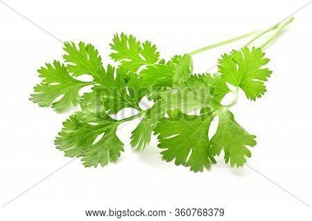 Bunch Coriander Leaf Isolate On White Background
