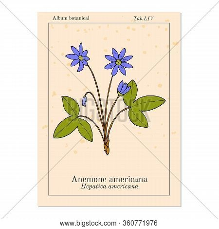 Anemone Americana Hepatica Nobilis , Medicinal Plant. Hand Drawn Botanical Vector Illustration