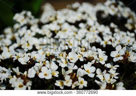 Close Up Of Lobularia Maritima Flowers Alyssum Maritimum, A Plant Typically Used As Groundcover.