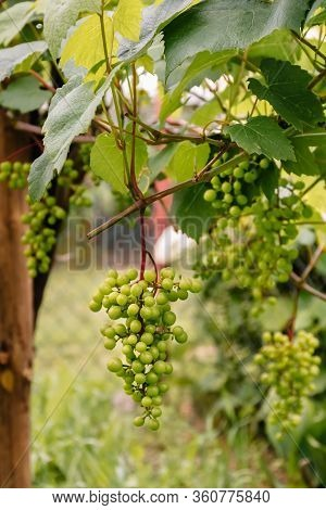 Green Or White Varietal Grapes On A Branch In The Garden. Industrial Cultivation Of Crops For The Sa