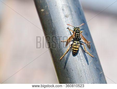 Close Up Of European Hornet (vespa Crabo, Family Vespidae)
