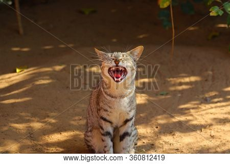 Standing Of Angry Male Cat In Summer On The Ground, Animals Background, Angry Cat Face For Fight, An