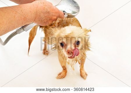 Hands Of A Senior Woman Wash Her Pet And Hold A Shower Tap With A Stream Of Water. A Small Beige Chi