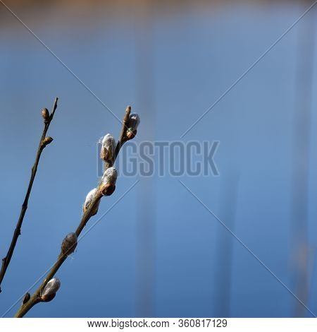 Willow Catkins By A Cloudless Blue Sky