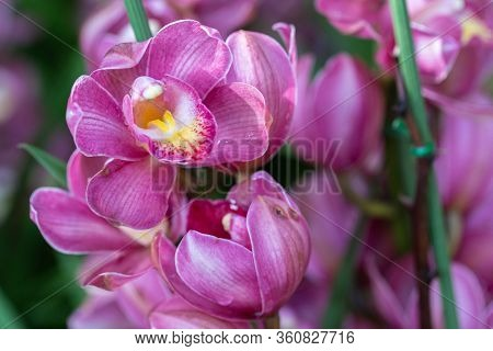 Orchid Flower In Orchid Garden At Winter Or Spring Day. Cymbidium Orchidaceae.