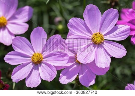 Pink Flower In Flower Garden At Sunny Summer Or Spring Day. Cosmos Or Mexican Aster Flower.