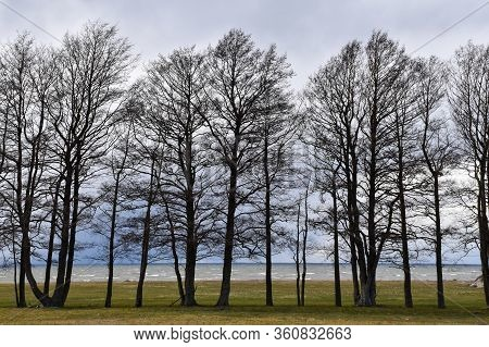 Beautiful Alder Trees By The Coast Of The Island Oland In Sweden