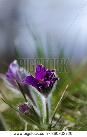 Sunlit Low Perspective Pasque Flower In The Grass