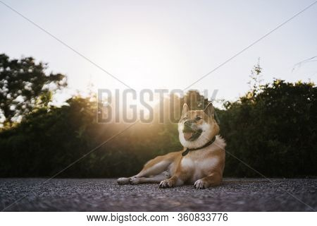 Happy Smile Dog Close Up Walk On Background Sun Flare, Chilling Shiba Inu Leisure On Park, Pet Relax