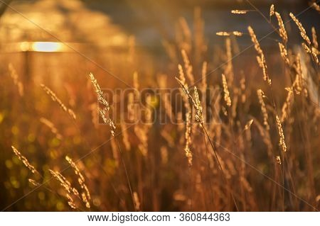 The Red Ears Of Autumn Grass, Permeated By The Bright Rays Of The Sun