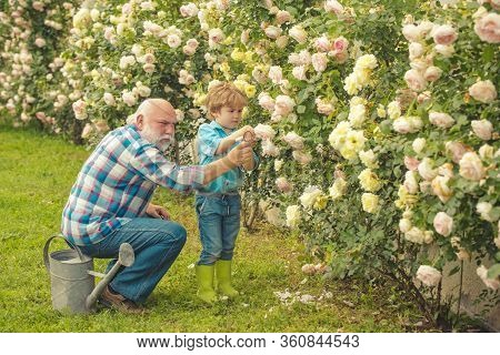 Flower Rose Care And Watering. Grandfather With Grandson Gardening Together. Grandfather Talking To