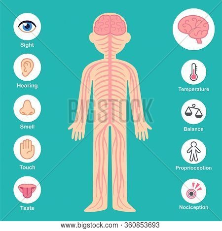 Nervous System Infographic Chart. Brain And Nerves On Body Silhouette, Senses And Perception Icons.