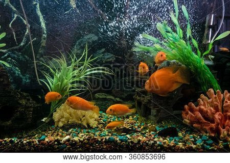 Aquarium With Red Pseudotrophyus Zebra Fishes And Orange Parrot Fish (red Parrot Cichlid)