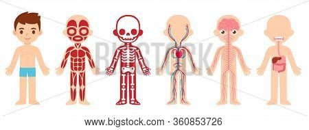 My Body, Educational Anatomy Body Organ Chart For Kids. Cute Cartoon Little Boy And His Bodily Syste