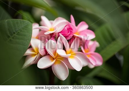 Frangipani Flowers Close Up Beautiful Plumeria. Amazing Of Thai Frangipani Flowers On Green Leaf Bac