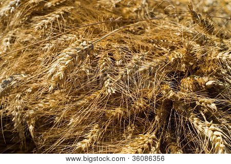 wheat freshly harvested