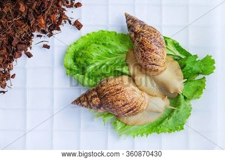 A Large Brown Snail - Ahaatin Ahatina - Giant African Snail, Achatina Fulica, Lissachatina Fulica Sn