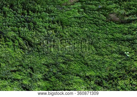 Moss Texture. Moss Background. Green Moss On Grunge Texture, Background.