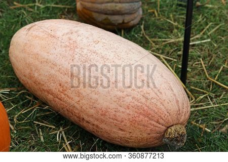 Pink Banana Pumpkin Squash Variety Of Cucurbita Maxima, With Grass And Other Squashes In The Backgro