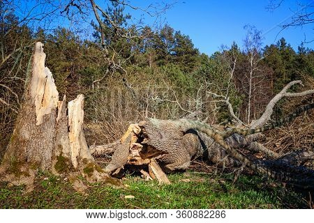 Old Tree Fallen From The Wind In The Forest, A Consequence Of The Storm