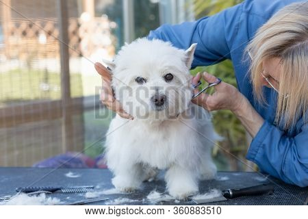 General View Of Grooming Of West Highland White Terrier Standing On The Grooming Table.