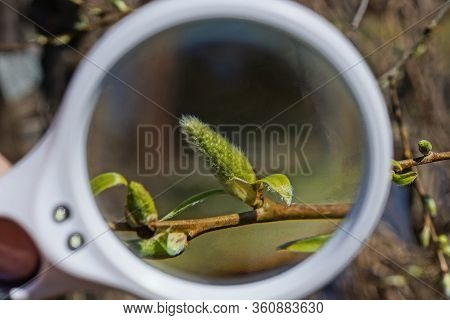 A White Magnifier Magnifies A Green Bud On A Brown Branch Of An Alder Tree In Nature