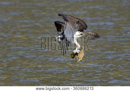 An Osprey Flies Off With A Fish In Its Talons Above Fernan Lake In Idaho.