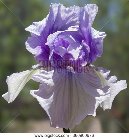 A Close Up Of The Intricate And Delicate Flower Of A Violet Iris.