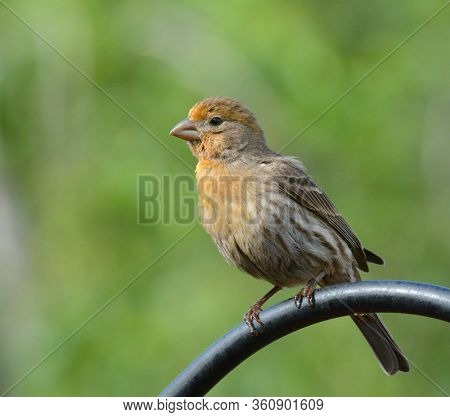 Side view of a yellow male House Finch, Haemorhous mexicanus, perched atop a suburban garden feeder pole.