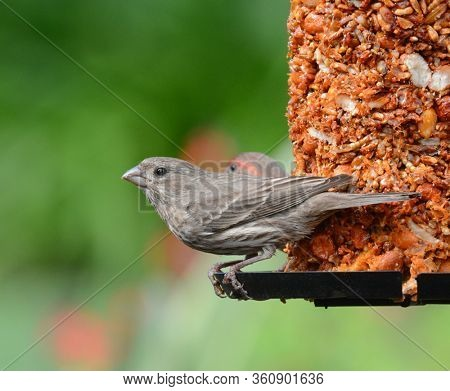 A  Female House Finch, perched on a feeder in a suburban garden.