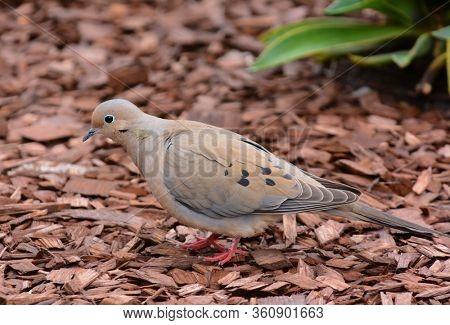 A Mourning Dove, Zenaida macroura, on the ground in a suburban garden.