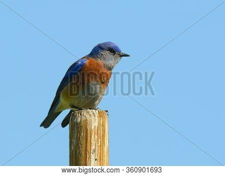 A male Western Bluebird , Sialia mexicana, perched atop a pole against a bright blue sky.