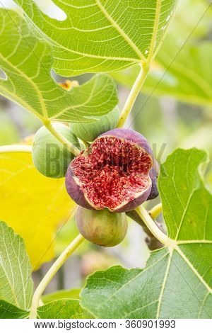Fig fruits on a the branch of a fig tree burst open close up
