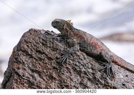 Marine Iguana (amblyrhynchus Cristatus) On Espanola Island, Galapagos National Park, Ecuador. Marine