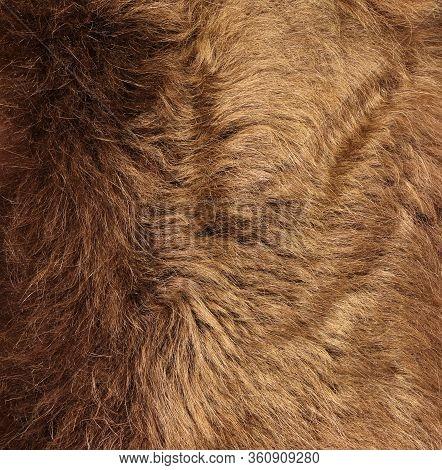 Fur Texture Of Wild Animal. Brown Fur Background. Close Up. Fur Of Brown Bear.