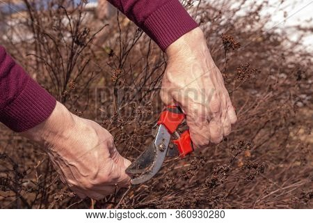 The Gardener Cuts The Branches Of The Bushes Using A Pruner. Garden Care Concept In Autumn Or Spring