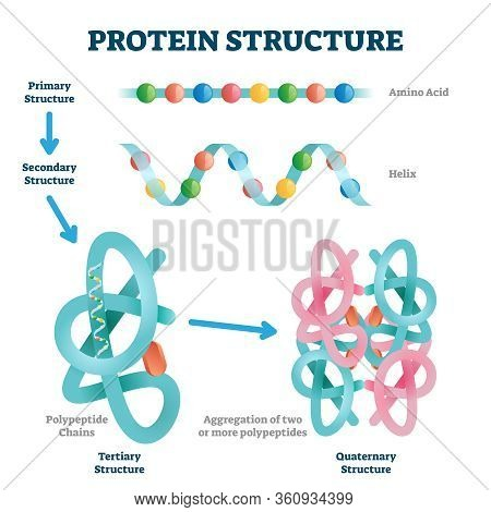 Protein Structure Vector Illustration. Labeled Amino Acid Chain Molecules Types Scheme. Educational