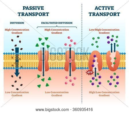 Active Vs Passive Transport Vector Illustration. Labeled Educational Cell Scheme Comparison. Diffusi