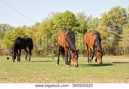 Three Arabian horses grazing in early evening sun in spring